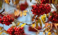 海子:幸福一日,致秋天的花楸树
