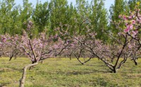 桃树林-海子诗歌精选