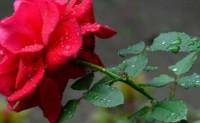 十四行:玫瑰花-海子的诗