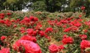 十四行:玫瑰花园-海子的诗