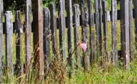 辰溪原创现代诗歌-小院篱笆,花满风清