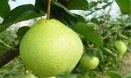 尚仁的诗:我是一颗梨