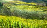 尚仁的诗句:关于稻子、稻子熟了、水稻的现代诗句