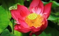 描写莲、莲花的现代诗词绝句三首(罗启明)