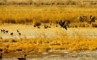 描写候鸟的诗歌-候鸟的诗