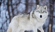 纪弦的诗-狼之独步