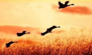 [张强] 鸿雁、种子
