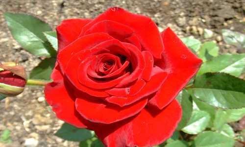 【水影晃树】诗歌投稿作品-拉菲里的玫瑰
