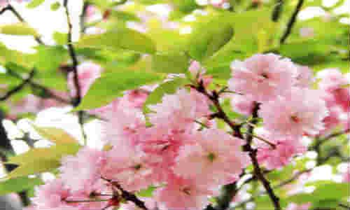 描写樱花的现代诗歌