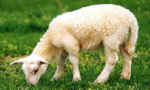尚仁的诗和远方第八篇-绵羊