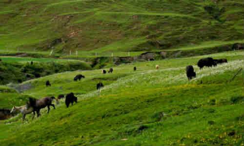 尚仁的诗和远方第九篇-鲜花和牛