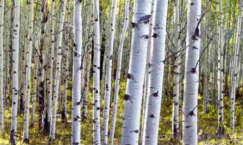 美丽白杨树-海子的诗歌