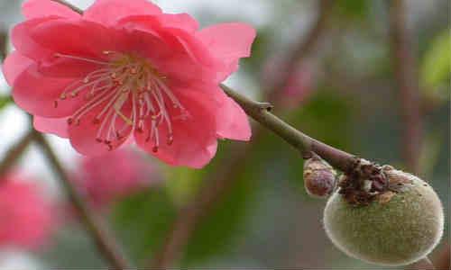 尚仁的诗和远方-桃子和桃花