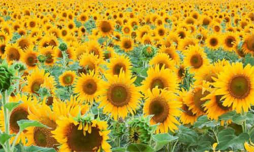现代诗歌原创-向日葵【发呆的天花板】