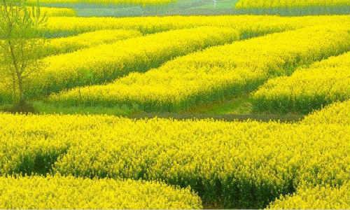 亚君现代诗歌投稿作两首-阳光、油菜花