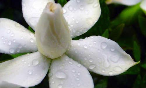 亚君现代诗歌原创投稿作品-栀子花