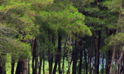 亚君现代诗歌原创投稿作-松树林