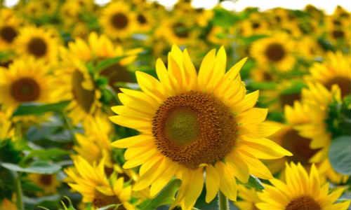诗梦苑现代诗歌两首-太阳花、影子