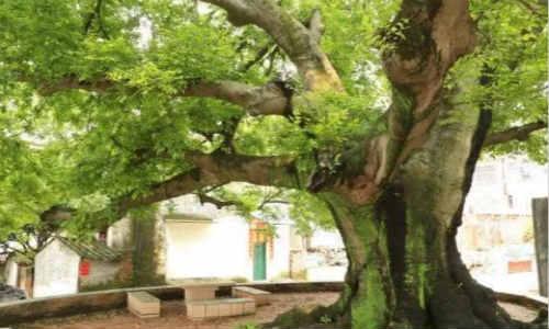 诗梦苑现代诗歌投稿作-古树