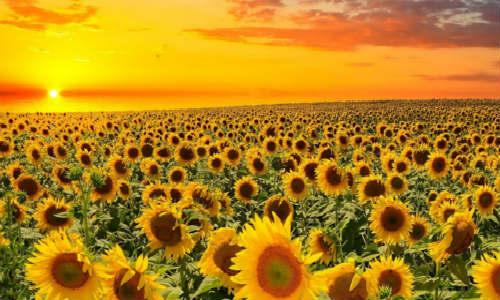 描写向日葵的现代诗歌-阳光下的向日葵(小白)