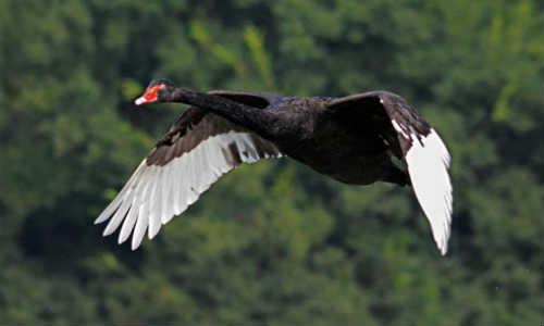 原创现代诗歌四首-所念、飞絮的记忆、黑天鹅、卖板栗的女人