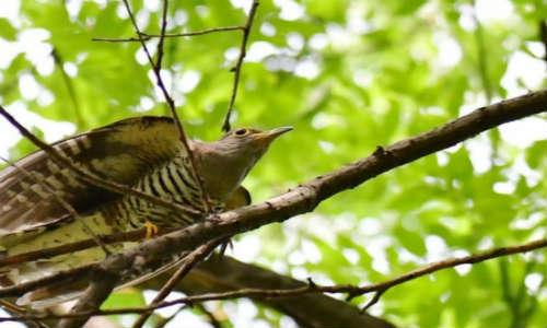 描写布谷鸟、鸟的现代诗歌-布谷鸟叫的时候、疲惫的鸟