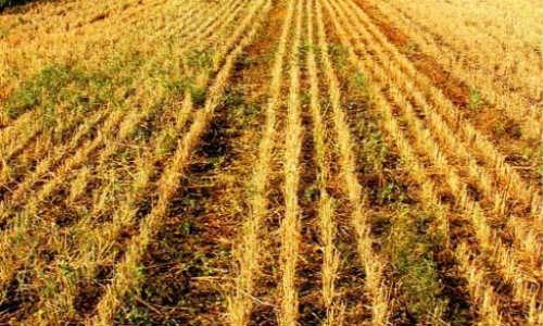 描写麦地的现代诗歌-麦地