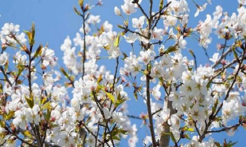 梨树-希尔达·杜利特尔
