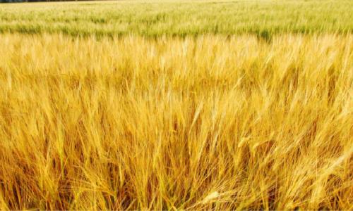 海子的诗-麦子熟了